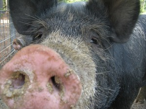 Pig pic reduced size